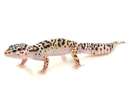 Mack Snow leopard geckos are probably one of my favorite morphs, and I want one so bad!