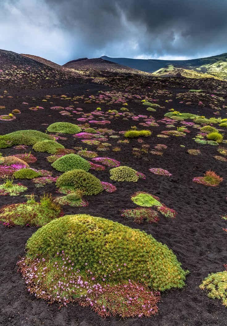 Beauty of Etna, Sicily, Italy - Astracantha sicula (Astragalo dell'Etna) is a plant endemic of Sicily.