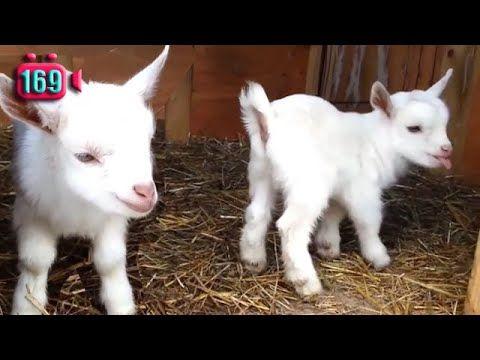 Lagu Anak Kambing Saya Macam Anak Kambing Youtube Animals Goats The Creator