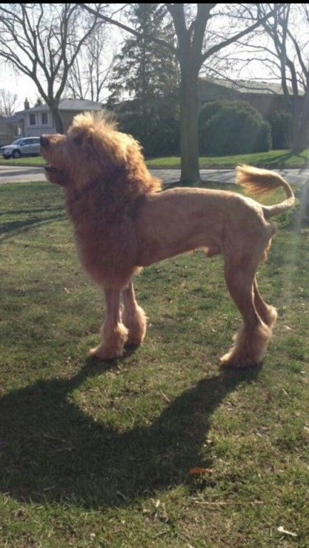 shaved bear scary | looks like this dog this dog was shaved to look like the coat of a ...