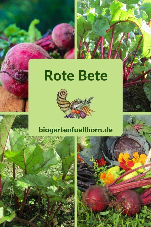 Rote Bete anbauen #garten #rote Bete #selbstversorger