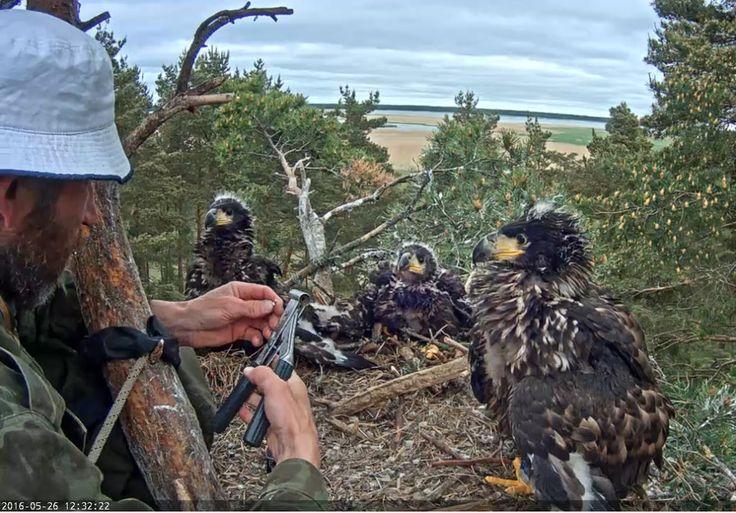 Video: Kroužkování Orlů mořských, ringing of eagles
