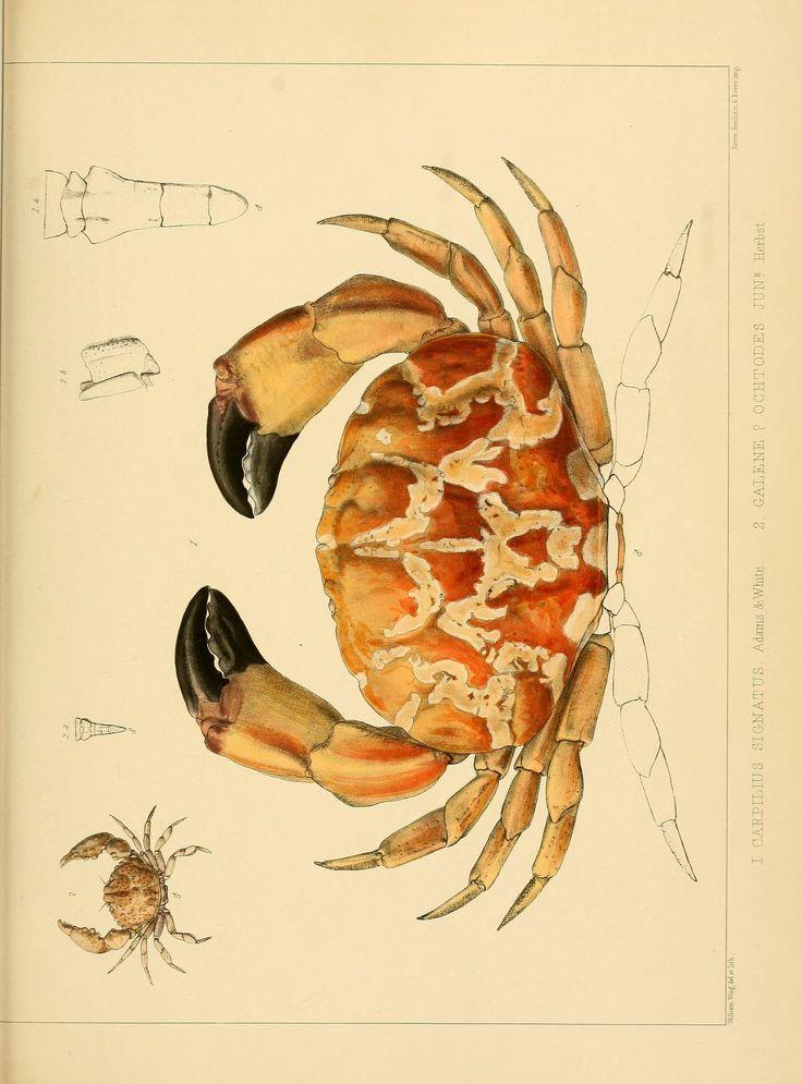 Carpilius signatus. The Zoology of the voyage of H.M.S. Samarang 1843-1846 Biodiversity Heritage Library #nature #crab #scientific #illustration