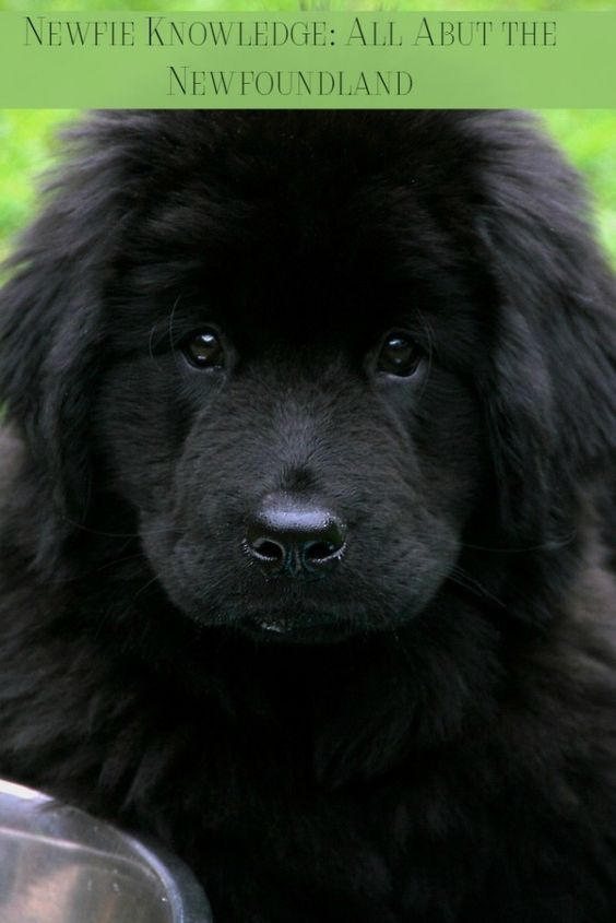 The Newfie is a massive dog built for work and love. The Newfie is extremely affectionate, intelligent, and needs a lot of exercise. Check out more facts about the Newfoundland dog!