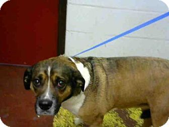Pictures of FEFE a Beagle/Boxer Mix for adoption in Atlanta, GA who needs a loving home.