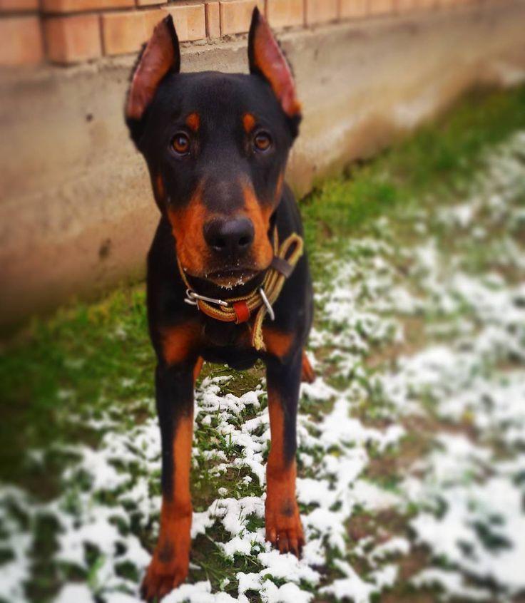 #First #Snow  for #junior #doberman #Tarzan . #Первый #Снег для #юниор'а #доберман'а #Тарзан'а.  #dobermanpride #dobermann #dober #dobermansofinstagram #dobby #dobylove #dobermans #puppy #dog #dogs #snow #winter