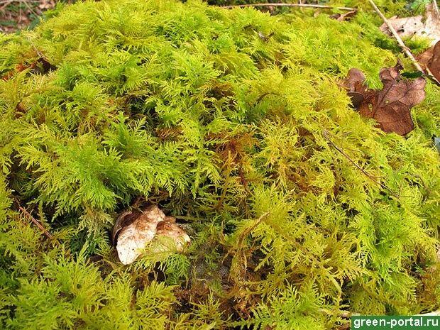 папоротниковый мох (Thuidium) полная тень агрессивен