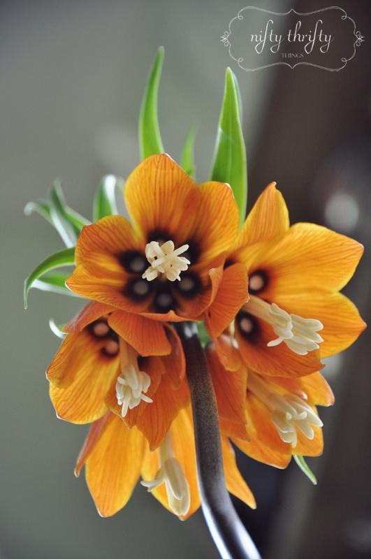 die besten 25 kaiserkrone pflanzen ideen auf pinterest klematis tulpen zwiebeln und kaiserkrone. Black Bedroom Furniture Sets. Home Design Ideas