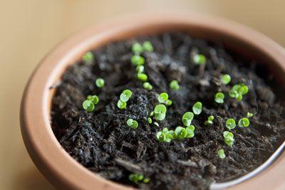 Nach circa 2 Monaten können Sie #Rucola übrigens an einem anderen Standort nochmals neu einsäen, wodurch sich die Erntezeit des frischen Blattsalates nochmals verlängern lässt. Die Ernte des Rucola ist nämlich problemlos bis Ende September möglich.