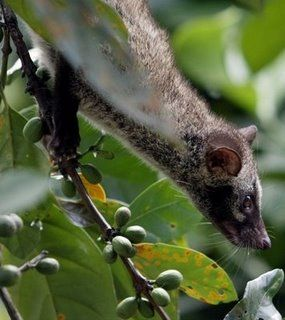 Asian Palm Civet - Paradoxurus Hermaphroditus Philipinensus