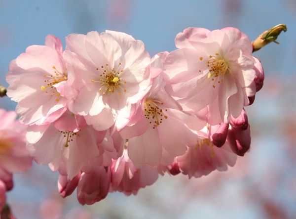 Buy ornamental cherry Prunus 'Accolade': Delivery by Crocus