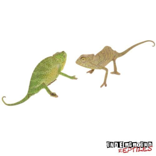Senegal Chameleons For Sale - Underground Reptiles