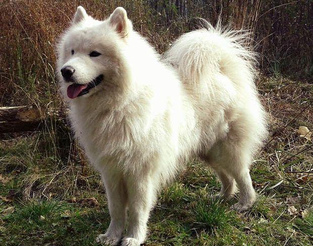 Le samoyède : un chien de traîneau pour 1.000 euros minimumCe chien à l'épaisse fourrure blanche tire son nom des Samoyèdes, une tribu du nord de la Russie. Cette race était utilisée pour la garde du troupeau et a participé à de nombreuses expéditions polaires. Le prix des samoyèdes démarre à 1.000 euros mais grimpe facilement : il n'est pas rare de débourser autour de 2.000 euros.>>> Pour votre chien ou votre chat, testez notre comparateur d'assurances animaux