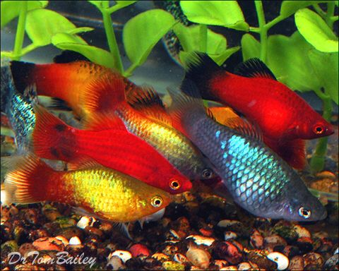 Gorgeous Platies, Featured item. #gorgeous #platy #platies #fish #petfish…