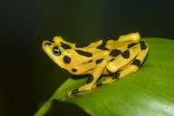 The Smithsonian's National Zoo maintains an active breeding program for the critically endangered Panamanian golden frog.