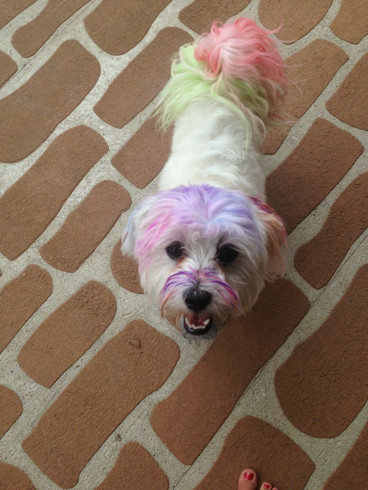 Here is a picture of Busta... Day before Christmas and he was just borrowing my hair chalk to get into the Christmas spirit!!
