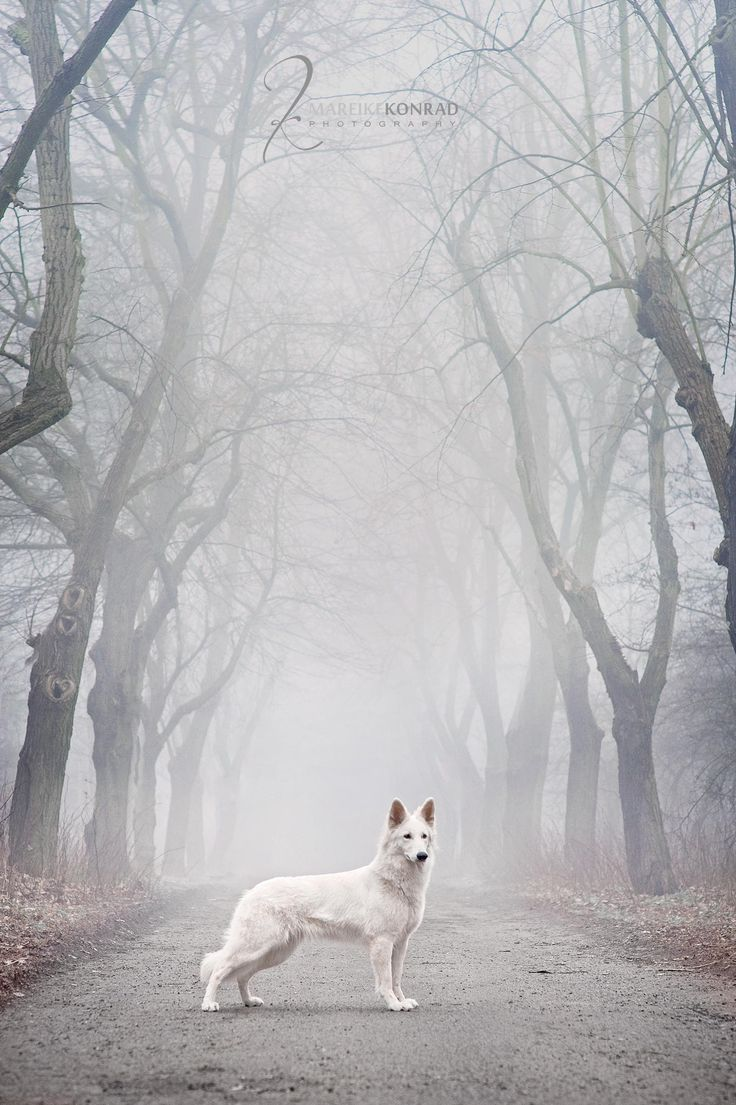 "White #German #Shepherd  From your friends at phoenix dog in home dog training""k9katelynn"" see more about Scottsdale dog training at k9katelynn.com! Pinterest with over 18,000 followers! Google plus with over 119,000 views! You tube with over 350 videos and 50,000 views!!2,000 plus on Twitter!!"