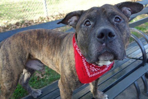 BUNDLES - A1093014 - - Manhattan  Please Share:TO BE DESTROYED 10/16/16 **ON PUBLIC LIST** A volunteer writes: This is the face of love. This is the face of 'I want to be your friend'. This is the face of 'can we be together forever?'. So sweet looking and quiet in his kennel, his soft face and imploring eyes absolutely delivered as we spent time together. Easily leashed and out the door, Bundles potties immediately and we're off to the park. H