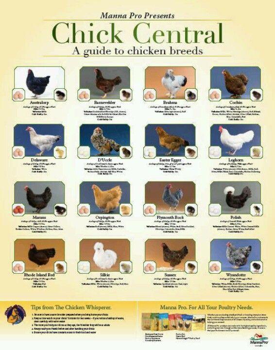 Chicken poster.