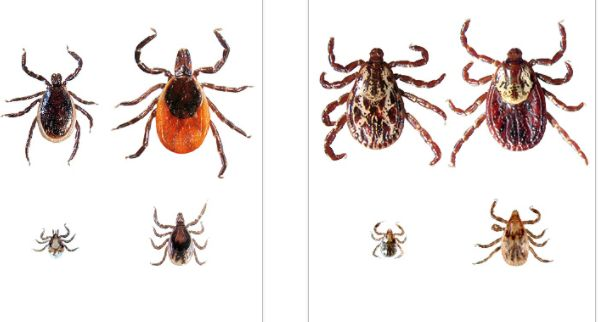 A tick bite can cause people to panic and fear they could be subject to lyme disease. There are also questions as to what are tick symptoms and and how to dispose of a tick. Here is a tick bite checklist to follow.