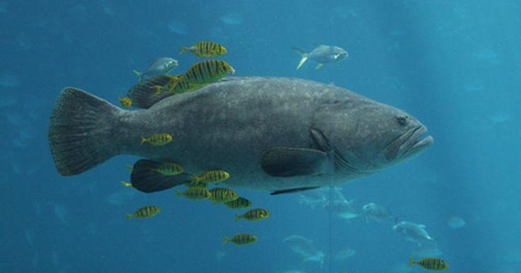 Tipos de peces de agua salada en el golfo de México. El golfo de México es un hábitat rico en algas marinas, arrecifes, pantanos costeros y organismos marinos que preservan más 200 especies de peces de agua salada. Según con la Agencia de Protección Ambiental (EPA, por sus siglas en inglés), el golfo es el noveno cuerpo de agua más grande del mundo. Es una cuenca que cubre 600.000 millas cuadradas ...