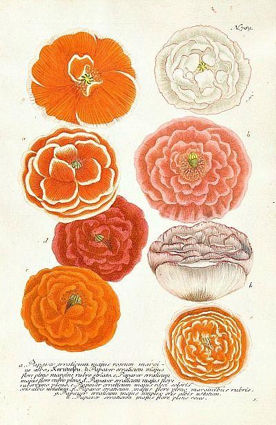 Poppies, Johann Weinmann (1737- 1745)White Flower, Botanical Illustration, Johannes Weinmann, Orange Flower, Botanical Prints, Colors Design, Bridesmaid Colors, Flower Prints, Floral Art