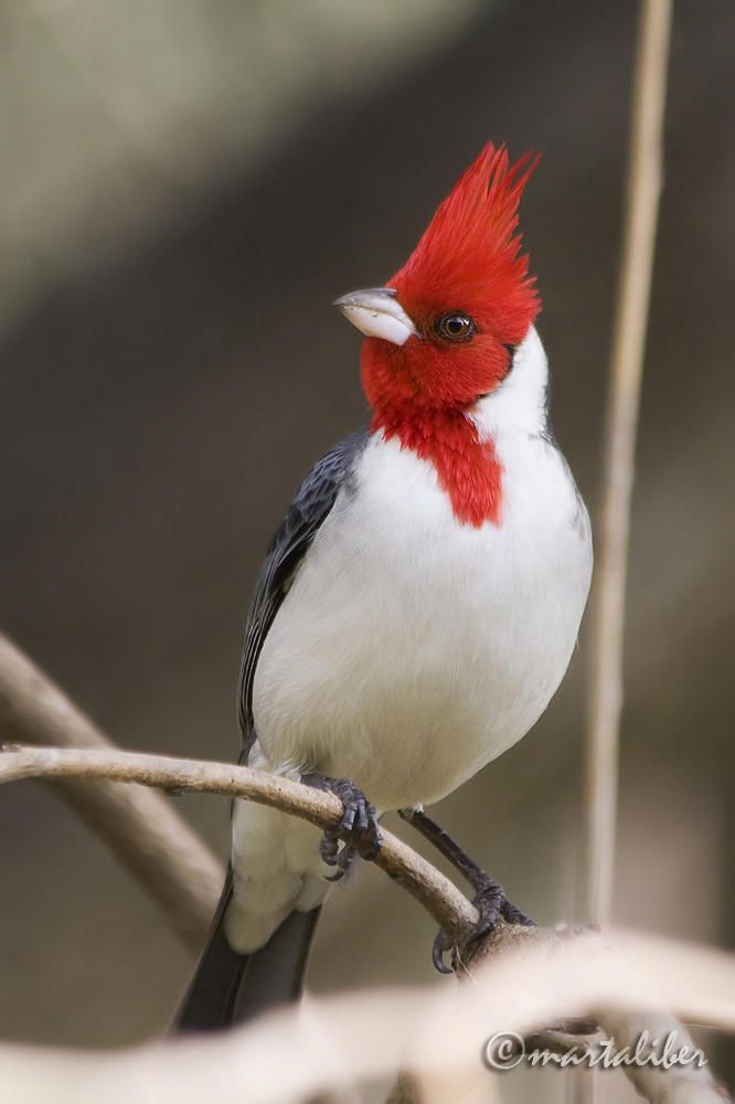 Cardenal copete rojo (marta Liber)