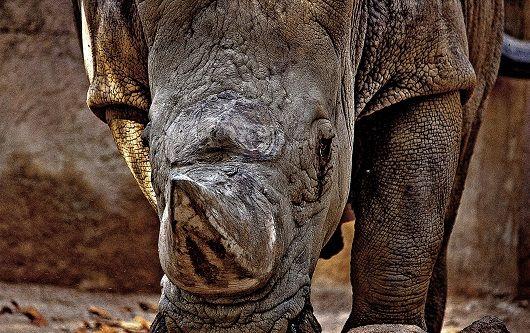 Classificado como espécie em risco de extinção, o rinoceronte negro é um dos animais que mais tem sofrido à mão de caçadores furtivos.