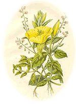 Harvesting and usage of Evening Primrose - Oenothera biennis