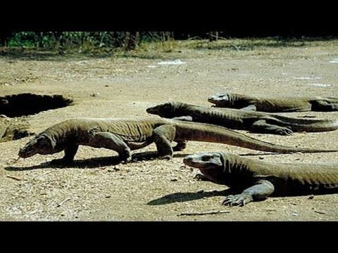 omodo Island Tours Indonesia Best recommended Komodo island tours to visit komodo dragon on habitat  #komodoislandtours #komodoisland #komodotours #indonesiatours http://www.komodoecotours.com/komodo/komodo-island-tour-2d-1n