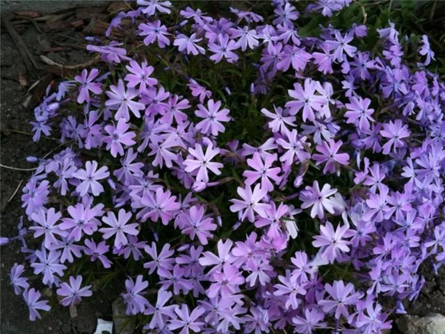 Purple Creeping Phlox | Hardy in zone 4, perennial, ground cover or mounds | Plant in front of yellow irises on the east and west sides of the house. Another possible location is to plant in front of Climax hostas.
