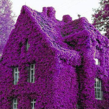 100Pcs Perfume Rainbow Climbing Plants Coulourful Rock Cress Flower Seeds at Banggood