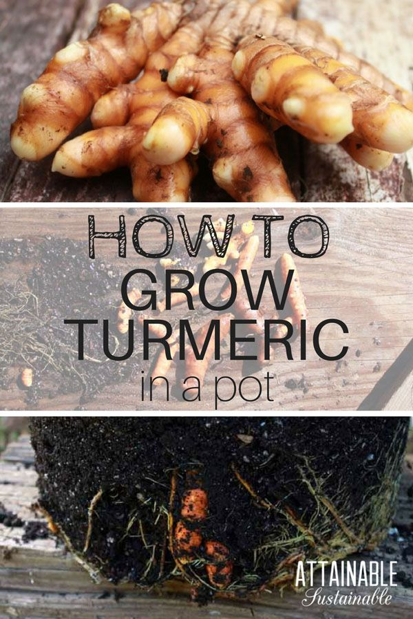 Turmeric is a plant grown for its root, much like ginger. Here's how to grow a turmeric plant at home in pots. Even in cold climates, it's easy to grow a turmeric plant in a container. You'll be able to bring it indoors when it's cold outside and eventually harvest your own fresh turmeric roots. #garden #herbs #homestead