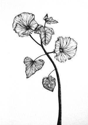 Convolvulus botanical illustration