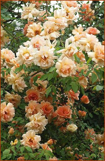 POSSIBLE: Climbing Rose. Crepuscule Is A Classic Noisette Rose With  Butterscotch Buds Opening To Buff Flowers All Summer Long. Nearly  Thornless, Too!