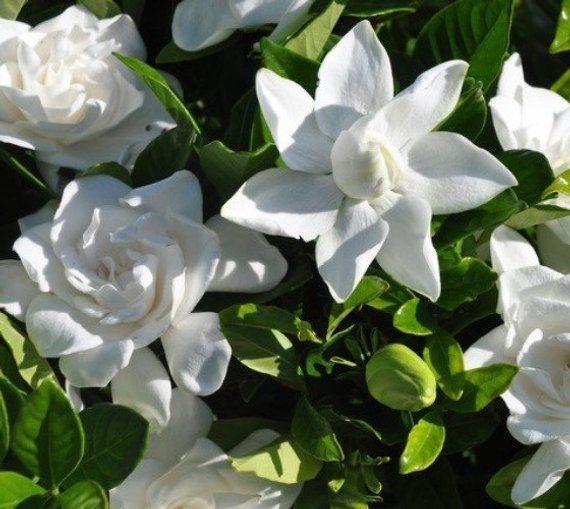 Summer Snow Gardenia Live Plant Starter Plug Lg With Images Gardenia Plant Snow In Summer Gardenia Trees