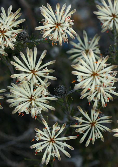 Petrophile brevifolia                      Western Australia