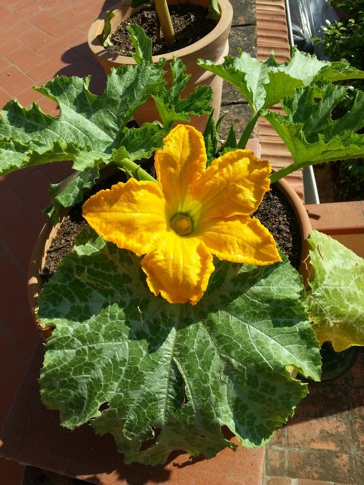 Fiore di zucchino - Marrow flower