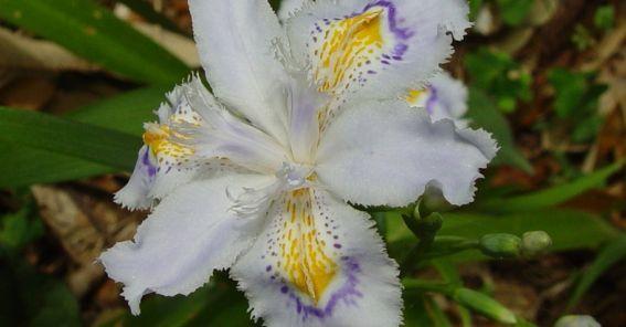 flor - Iris japonica