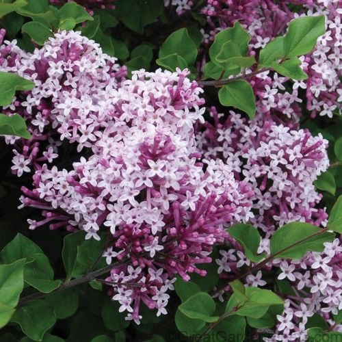 Flower Garden For Dummies: Syringa Bloomerang®