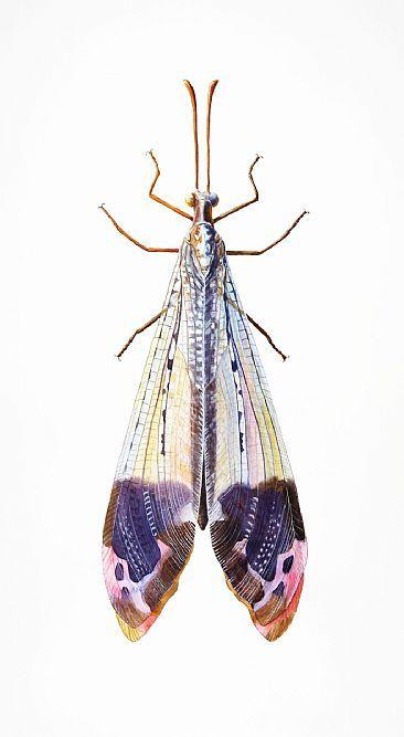 Antlion-insect, antlion, glenurusbyDinahWells