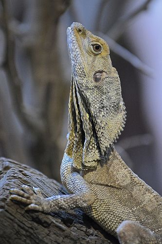 K Dragon Lizard 17 Best images about F...