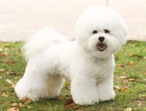 Груминг бишон фризе: стрижка, купание и уход за шерстью бишон фризе | Породы собак | Royal-groom