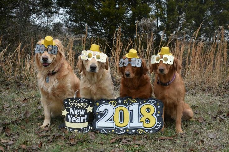 A Golden Retriever New Years Eve 2018