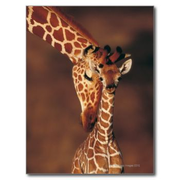 Animals->Giraffe_x000D_ _x000D_ The giraffe (Giraffa camelopardalis ) is an African even-toed ungulate mammal , the tallest living terrestrial animal and the largest ruminant . Its specific name refers to its camel -like face and patches of color on a light background, which bear a vague resemblance to a leopard 's spots. The giraffe is also noted for its extremely long neck and legs and prominent horns. It stands 5–6 m (16–20 ft) tall and has an average weight of 1,200kg (2,600lb) for…