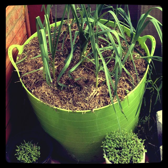 Leeks with grass cuttings as mulch. Wild flower seedlings in pots.