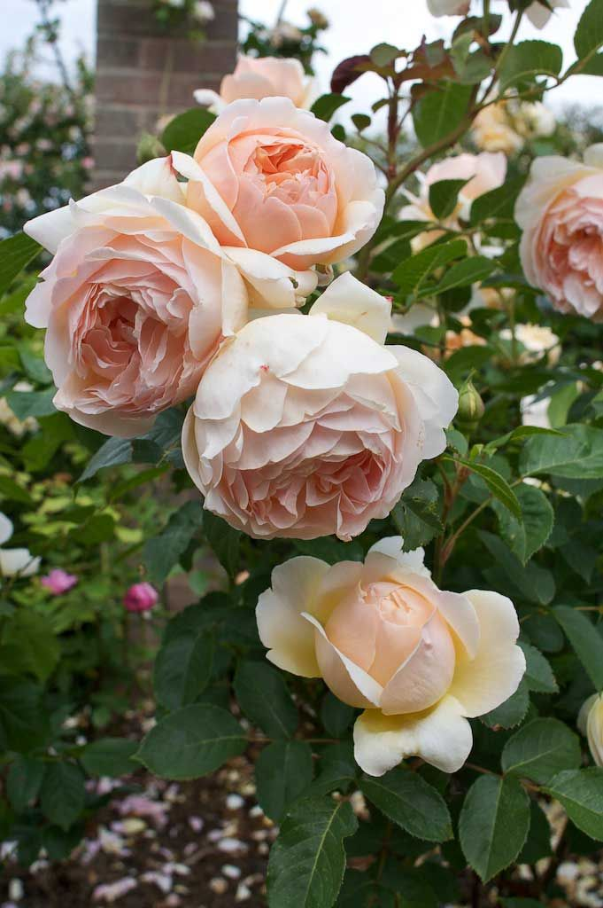 Rosa 'Jude the Obscure' ~ English rose. Huge flowers, fantastic scent.