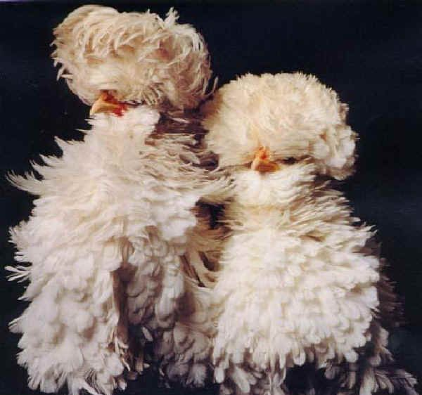 chicken species pictures | The photo is of one of the extremely unusual ornamental races, from ...
