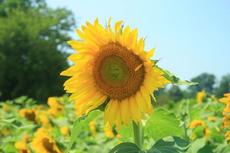 Harford County a perfect spot for sunflower gazing