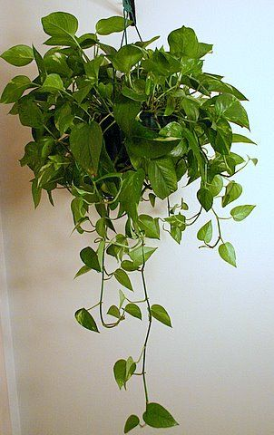 Golden Pothos. Low-bright light but brighter light maintains colour variation. Needs little water. Poisonous to animals and children if ingested so would only include if possible to hang up high in a room where children and pets don't go so much.